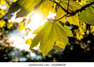 young maple leaves in spring in back light