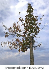 young maple tree is dying, close-up in front of bleak cloud-sky