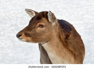 Young maral deer on the field.