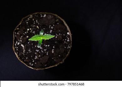a young marijuana plant in a pot