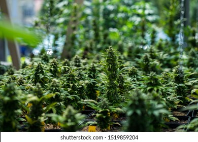 Young marijuana plants growing indoors