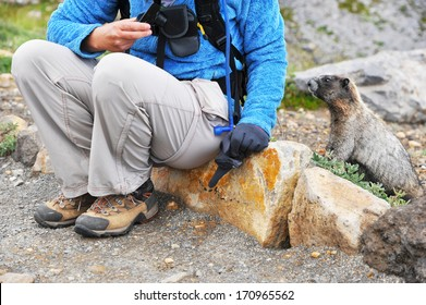 Young marmot approaching a hiker at Mt. Rainier, WA, USA