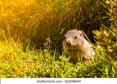 Young marmot in its hole