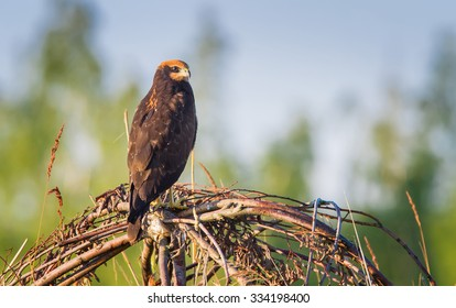 The young Marsh Harrier