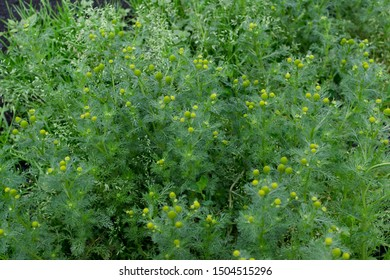 Young medicinal plants of matricaria chamomilla known as chamomile, camomile, Italian camomilla, kamilla, wild chamomile or scented mayweed. Green lush leaf background
