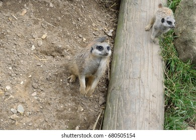 A young Meerkat stands on a log next to its parent