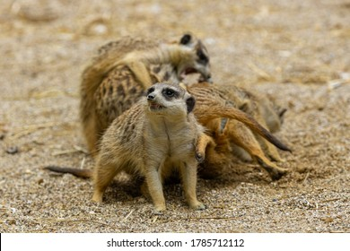Young meerkats playing with each other