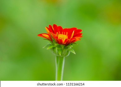 Young mexican sunflower on green background