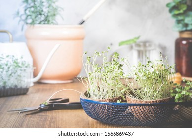 Young microgreens in a coconut shell close-up on a background of plants in pots. Growing microgreen at home. Gardening. Vegetarianism and healthy eating concept.