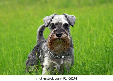 young mini schnauzer stands in the grass