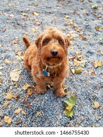 young miniature goldendoodle looking up at the camera with a cute expression