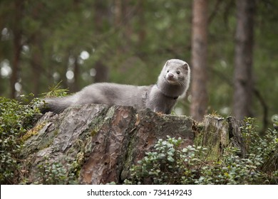 Young mink in the wood on the stud