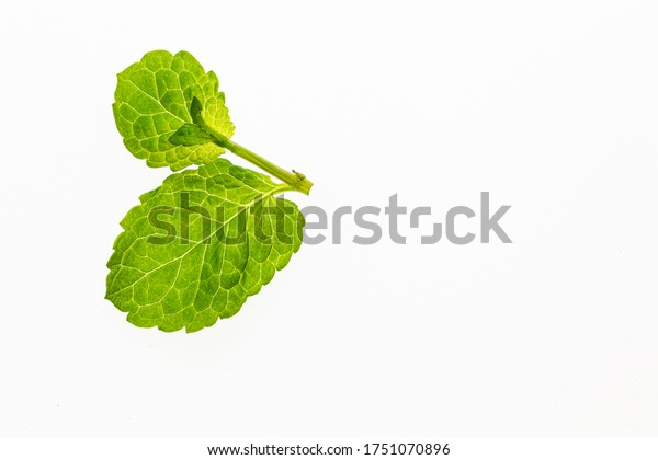 Young mint leaves. Fresh herbs. Photo on a white background. Home-grown herbs. Food ingredient. Herbs for tea.