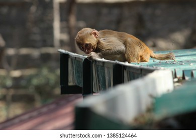 Young mischievous Rhesus Macaque playing around on the roofs