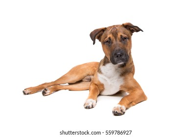 young mixed breed dog in front of a white background
