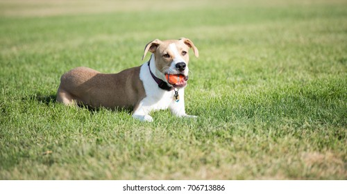 Young Mixed Breed Dog Playing with  Orange Ball