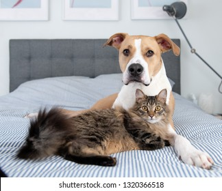 Young Mixed Breed Dog Relaxing with Norwegian Forest Cat on Bed