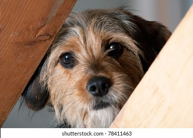 A young mixed breed pup looks through a space between two wooden boards.  Shallow depth of field.