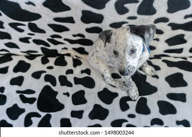 Young mixed Dalmatian sitting on Dalmatian pattern couch. Spotty puppy blending camouflage pattern sofa background. Selective focus on dog head