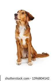 Young mixed Saluki and Golden Retriever brown dog sitting on white looking upwards and to side