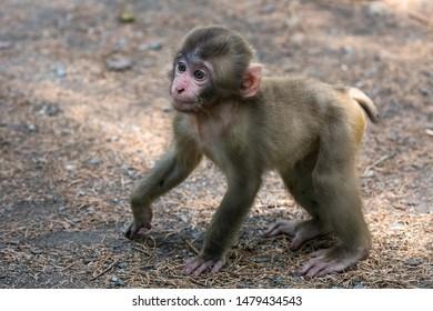 Young monkey, japanese macaque, park Affenberg, Villach, Austria