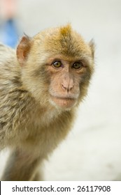 Young monkey looking into the camera in Gibraltar.