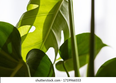 young monstera leaf lit with the diffused sun light from the window
