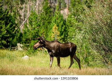 Young moose calf grazes in Colorado meadow near Grand Lake along the river bank