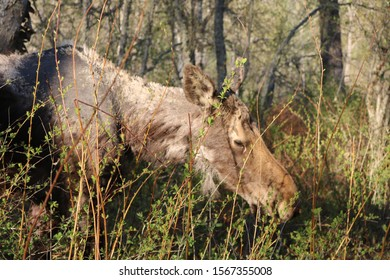 Young Moose Grazing in a Pasture in a Wooded Forest Nature Preserve