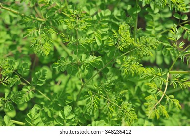 Young Moringa leaves in nature light, alternative medicine plant