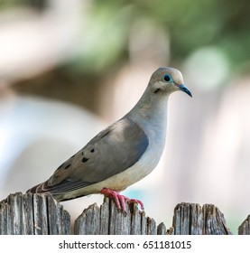 A young Morning Dove.