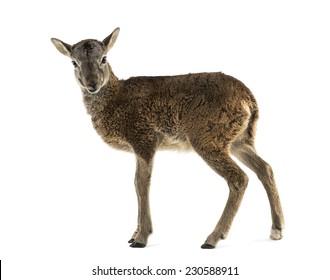Young mouflon - Ovis orientalis orientalis isolated on white