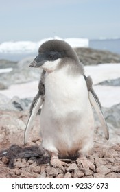 Young moulting Adelie penguin chick in the background of the sea.