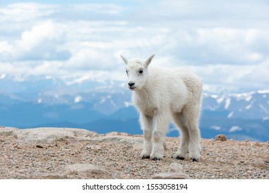 Young Mountain Goat. Clouds and mountains in the background. Colorado, USA.