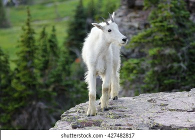 Young mountain goat on cliff in Glacier National Park