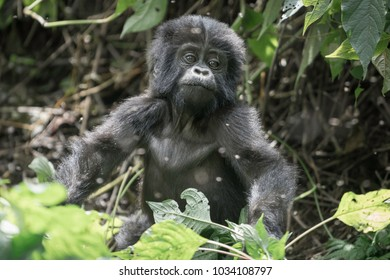 A young mountain Gorilla plays in the bushes and trees in the jungles of Uganda