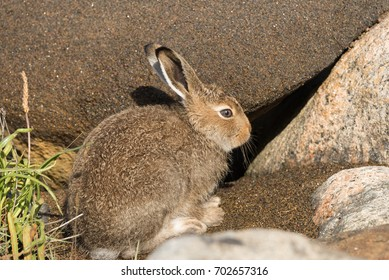 Young Mountain Hare (Lepus Timidus) Hiding Among Large Stones In The Rays Of The Autumn Sun.Wild Hare ( White Hare Or Snow Hare ) In Summer Pelage In The Natural Polar Habitat ( The White Sea coast )