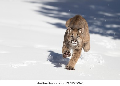 Young Mountain Lion running in snow