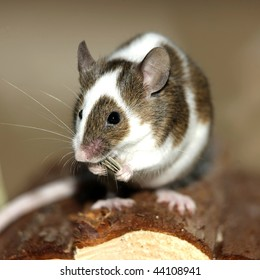 Young mouse eating a sunflower nut