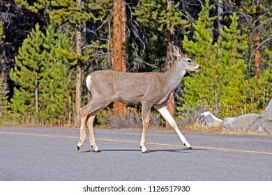 Young Mule Deer Buck crossing road