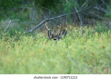 Young Mule Deer Buck Peeks but Antlers Reveal
