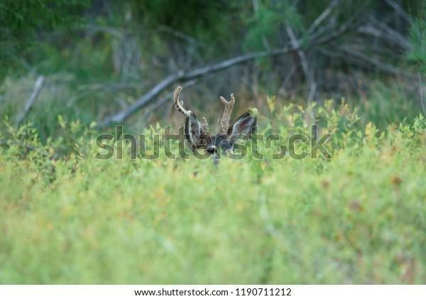 Young Mule Deer Buck Peeks but Antlers Reveal