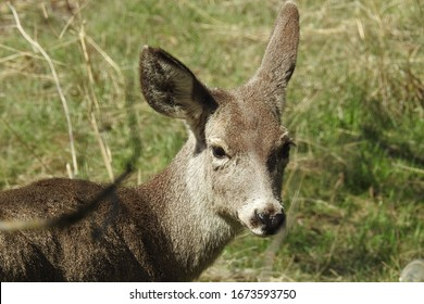 Young mule deer living in the Tehachapi Mountains,California.