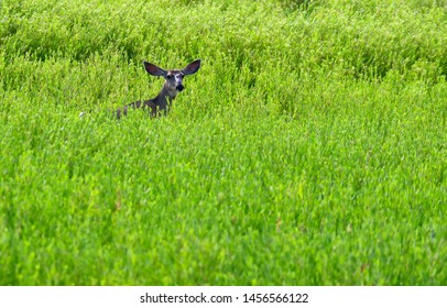 A young mule deer sticking its head out of the lush marsh grass.