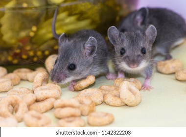 Young Mus musculus, or house mice rummaging through food stuffs in someone's pantry kitchen cabinet.