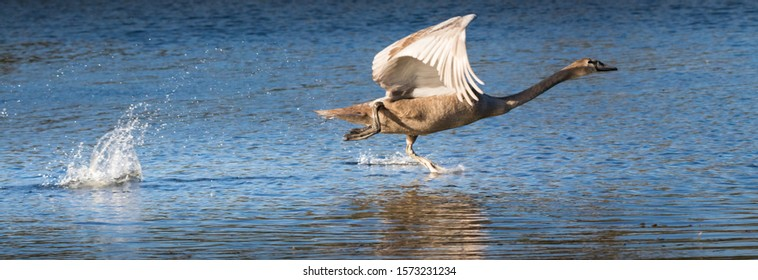 Young Mute Swan (cygnus olor) learning to fly and running over water in a lake in germany