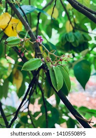 Young and natural Carambola / Start Fruit. Fresh Carambola with flower on plant.