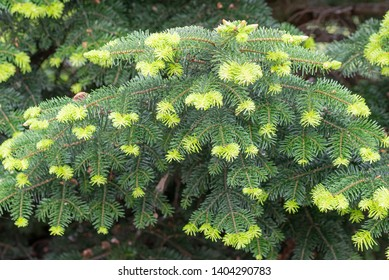 Young needles from Abies nordmanniana also known as Nordmann fir or Caucasian fir. The new needles are a tender green  color in spring