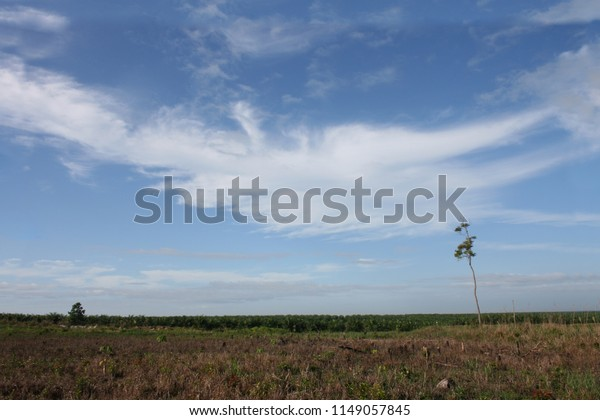 Young new palm opil plantation in indonesia on destroyed rain forest area