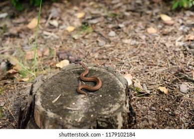 A young newborn poisonous viper basking on a tree trunk in the forest
